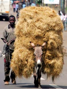 An Ethiopian farmer walks next to his donkey in Addis Ababa, Ethiopia