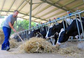 The papal farm at Castel Gandolfo, Italy, has 25 cows that produce roughly 700 litres of milk per day.